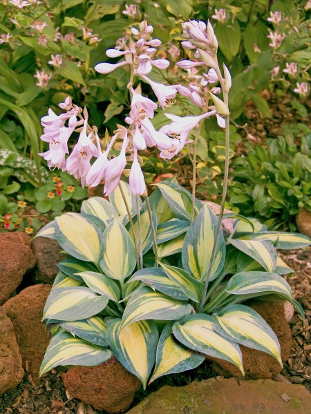 "Hosta ""Grand Marquee"" (i.9cmT.)"