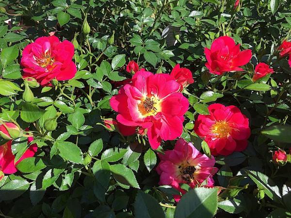 "Rose ""Bienenweide Hellrot ®"" (i.3 l Topf), Bienen - Rose"