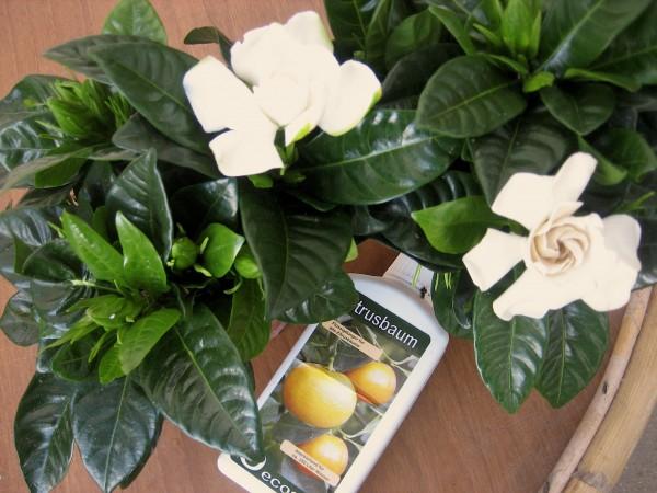 Gardenia jasminoides (i.12cmT.) Gardenie