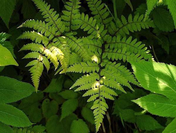 Athyrium vidalii (i.11cmT.)