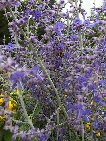 """Perovskia atriplicifolia """"Little Spire"""" (i.3l T.) kleine Blauraute, Silberbusch"""