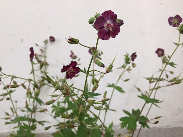 Geranium phaeum burgund (i.9cmT.), Storchenschnabel