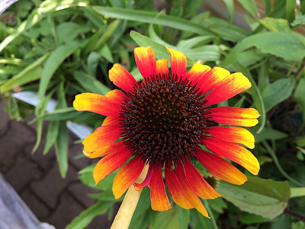 """Echinacea purpurea """"Parrot ®""""(i.11 cm T.)"""