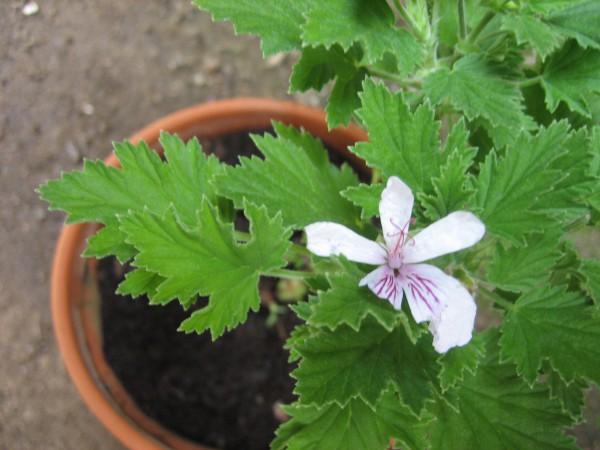 Pelargonium ´Frensham`(i.11cmT.)