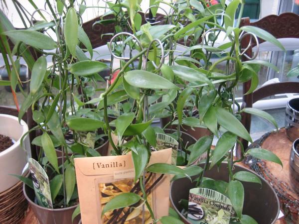 Vanilla planifolia (i.12 cm Topf) Vanille - Orchidee, aus Mexiko, Mittelam.