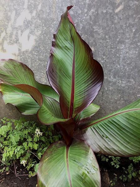 "Ensete ventricosum ""Maurelii""( i.14cmT.), Rote Banane"