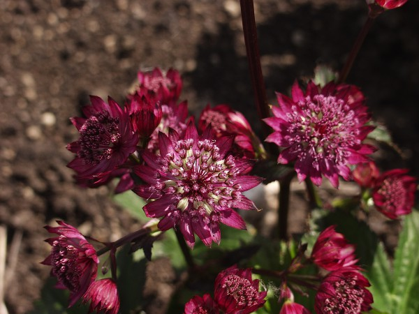 "Astrantia major ""Abbey Road"" R (i.11cmT.) Sterndolde"