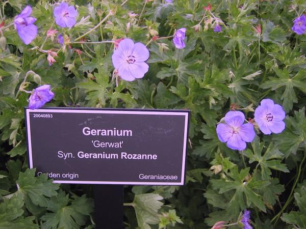 "Geranium x pratense ""Rozanne"" ® (i.11cm T.) Storchenschnabel"