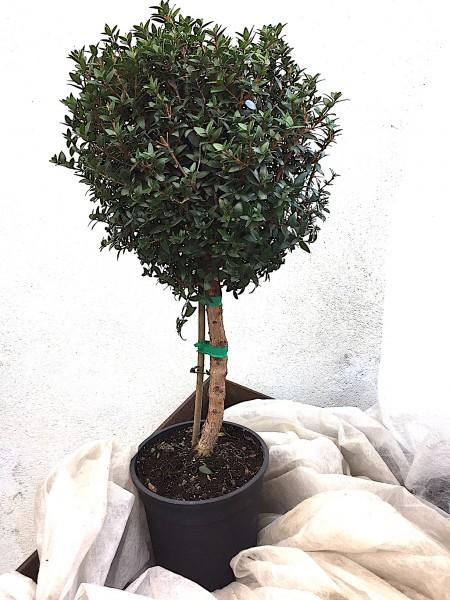 Myrtus communis Stämmchen (i.15cm Topf),45 cm hoch