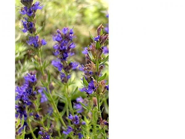 Hyssopus officinalis ssp. aristatus Felsenysop (i.9cmT.)