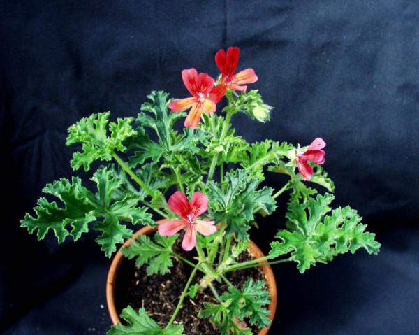 """Pelargonium """"Scarlet Unique"""" aus Neuseeland (I.11cmT.)"""