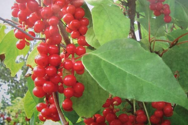 Schisandra chinensis , Vitalbeere ( i. 2l T.)