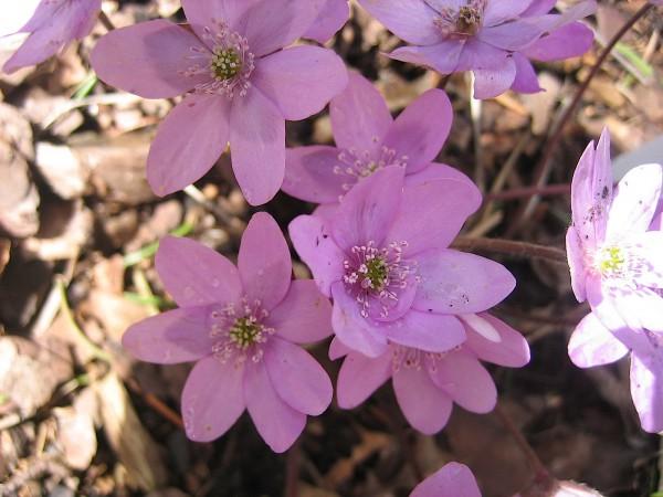 Hepatica nobilis ´Rosea`(i.9cmT.) Leberblümchen
