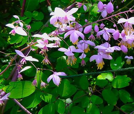 Thalictrum delavayi (dipterocarpum) (i.9cmT.) China- Wiesenraute
