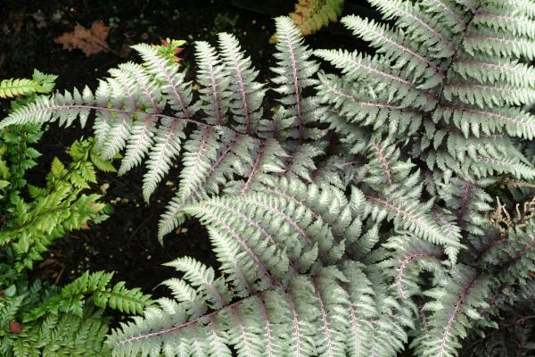"""Athyrium nipponicum """"Pewter Lace"""" (i.9cmT.), Regenbogenfarn, Brokatfarn"""