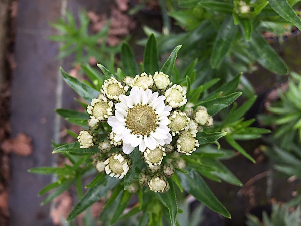 "Achillea ptarmica ""Nana compacta"" (i.9cmT.), Schaf Garbe"
