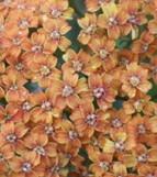 "Achillea millefolium ""Terracotta"" (i.11cmT.) Schafgarbe"