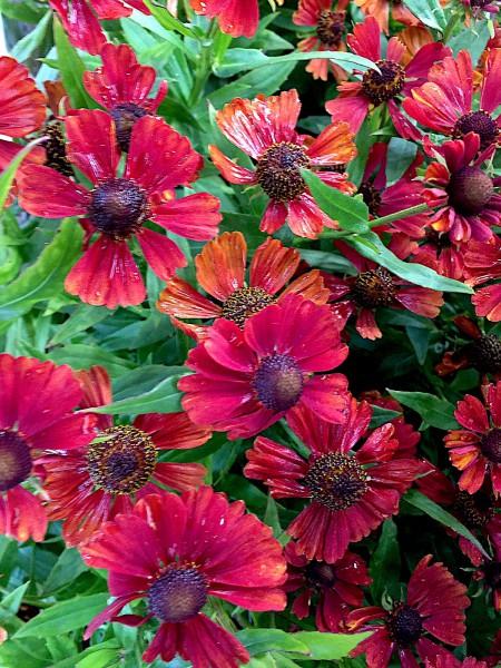 "Helenium x cultorum ""Strawberry Sundae""® (i.11cmT.), Sonnenbraut"