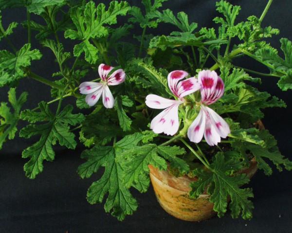 Pelargonium ´Fair Ellen`(I.11cmT.)