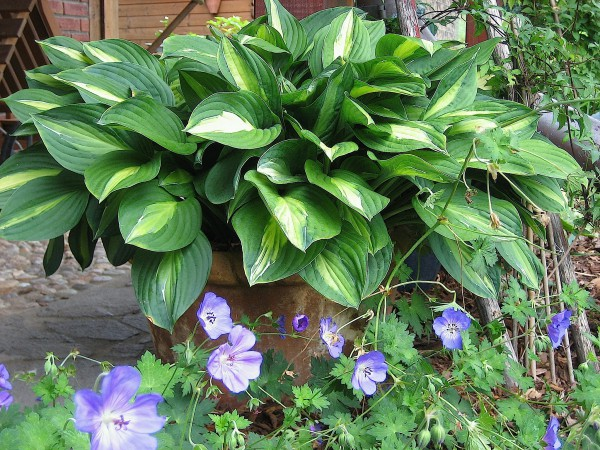 "Hosta ""Striptease"" (11cm T.) Funkie"