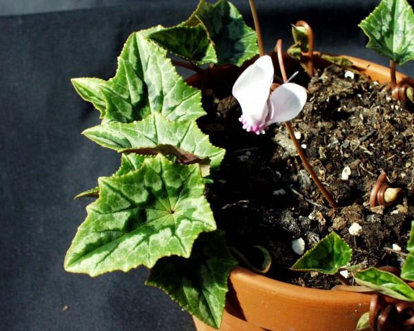 "Cyclamen hederifolium ""hellrosa m. magenta Krone"" (i.9cmT.)"