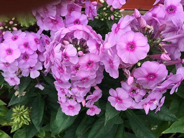 """Phlox paniculata """"Fondant Fancyr"""" (i.11cmT.) Sommer - Phlox"""