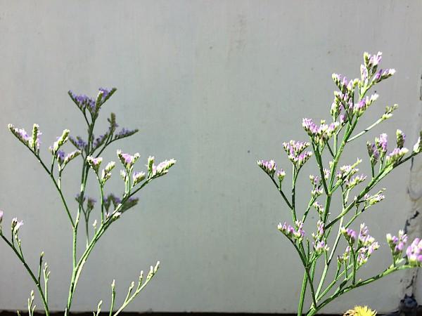 Limonium vulgare (i.11cmT.), Strandflieder