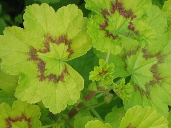 Pelargonium zonale ´Sandra`(I.11cmT.)