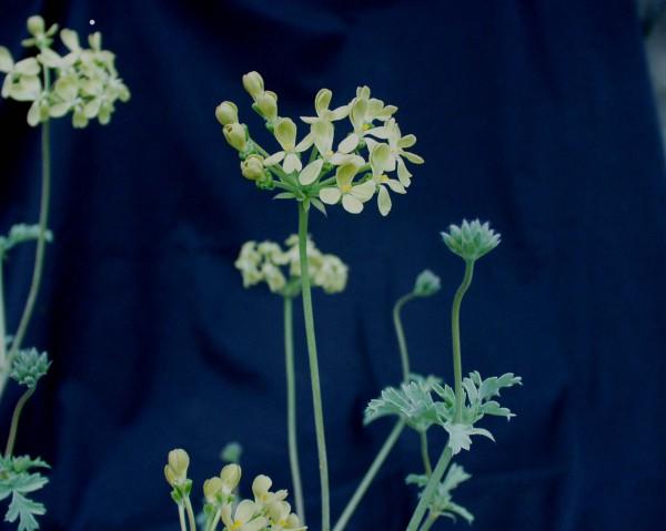 Pelargonium gibbosum (I.11cmT.) Knoten Pelargonie