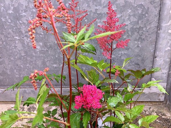 """Astilbe japonica """"Montgomery"""" (i.11cmT.), Prachtspiere"""