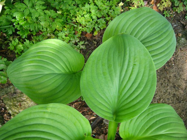 Hosta Hyb.´ Fried Green Tomatoes` (i.15cm T.) Duft Funkie