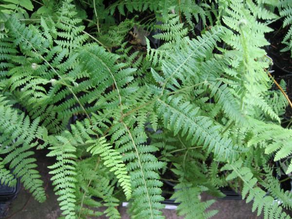 Pteridium aquilinum (i.15cmT.) Adlerfarn