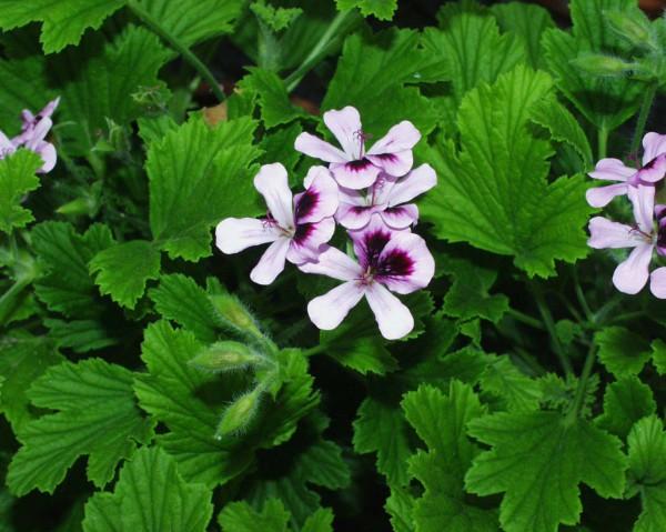 Pelargonium ´Orange Fizz` (i.11cmT.)