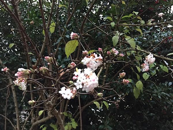 "Viburnum x bodnantense ""Dawn"" (i.3l Topf), Winter - Schneeball"