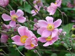 "Anemone x japonica ""September Charm "" (i.11cmT.)Japan-Anemone"
