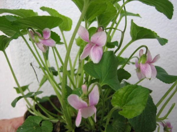 """Viola odorata """"Pink"""" (12 cm Topf) Duftveilchen, """"Pink"""""""