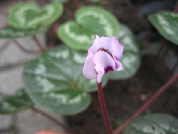 "Cyclamen coum ""Pfeilspitz Something Magic rosa ""(i.9cmT)"