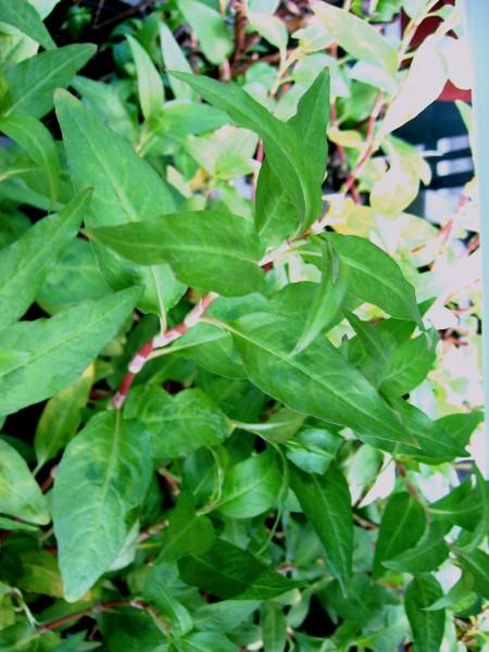 Polygonum odoratum (i.9cmT.) Vietnamesischer Koriander