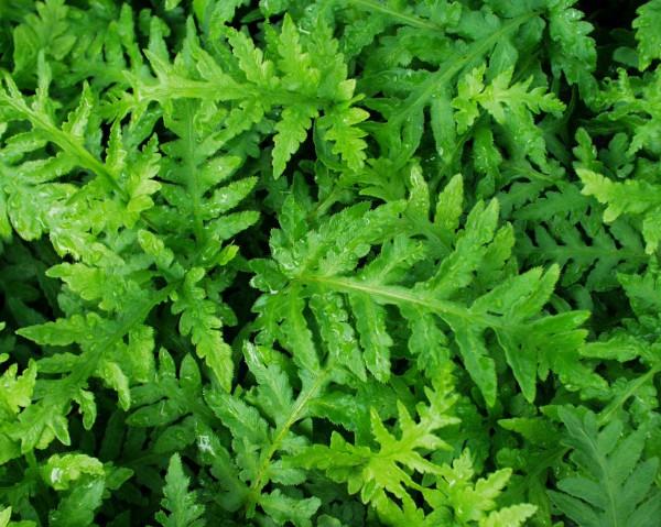 Woodwardia fimbriata (i.9 cm.T.) Grosser Kettenfarn