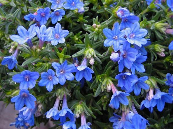 Lithodora diffusa ´Heavenly Blue` (i. 10,5cm Topf) Steinsame