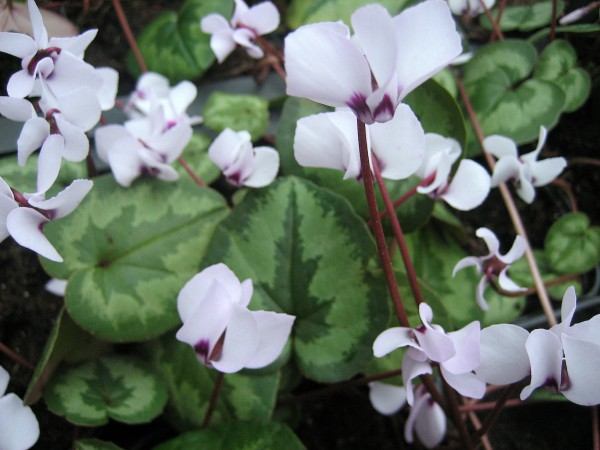 Cyclamen coum ´Pewter Leaf Album`(i.9cmT)