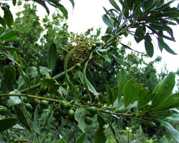Laurus nobilis (i.12cmT.) Küchenlorbeer