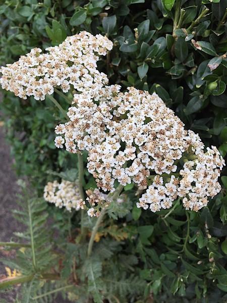 """Achillea millefolium """"Alabaster"""" (i.9cmT.)"""
