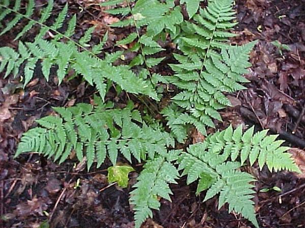 Dryopteris clintoniana (i.11cmT.) Clintons Wurmfarn