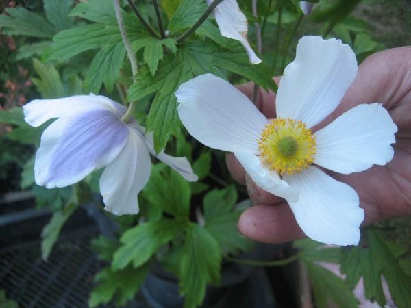 "Anemone x cultorum ""Wild Swan"" (i.11 cmT.) Japan - Anemone"