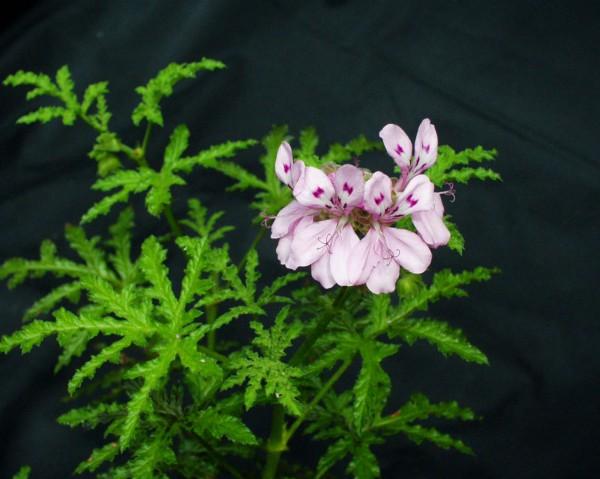 Pelargonium asperum (I.11cmT.)