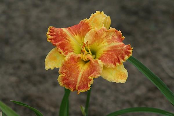 "Hemerocallis Hybride ""Beyond Riches""(i.15cmT.)"
