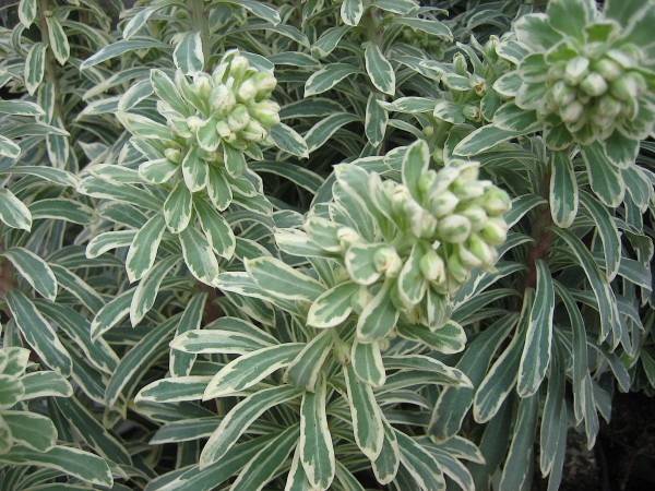 Euphorbia characias ´Silver Swan` (9cm T.) Wolfsmilch