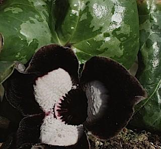 """Asarum arifolium """"Giant"""" (i.11cm T.) Chinesischer Haselwurz"""