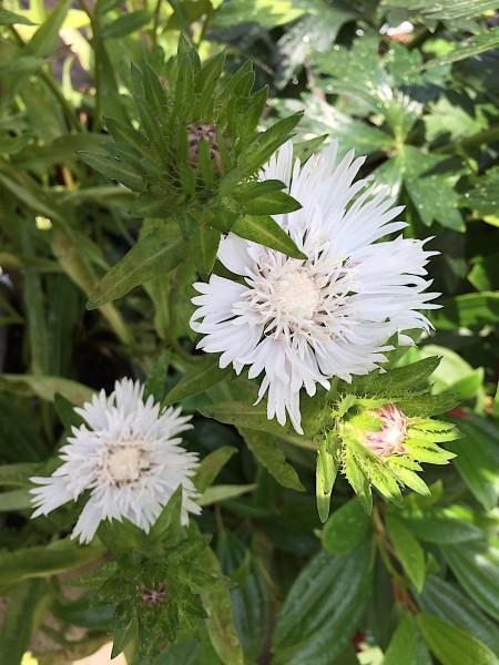 """Stokesia laevis """"Träumerei"""" (i.11cmT.)"""